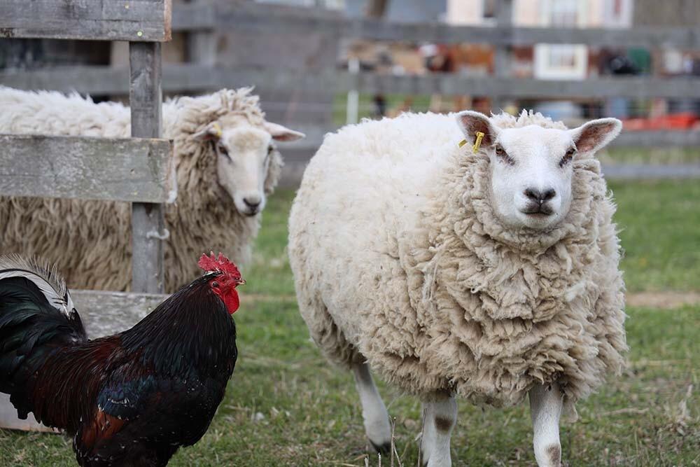 un gallo y una oveja