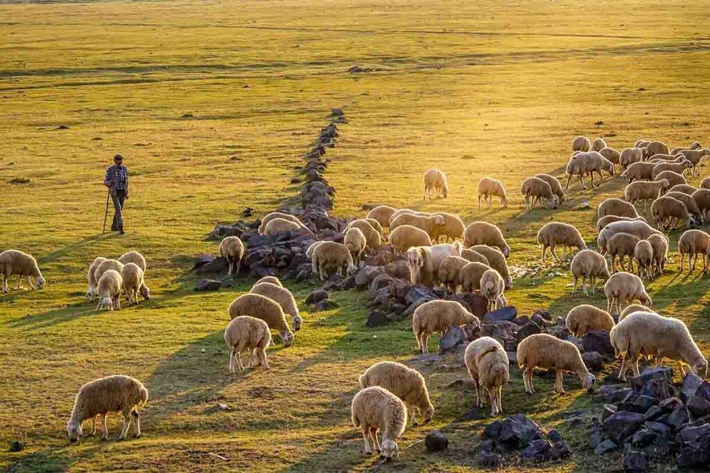 Un proyecto piloto utiliza ovejas para controlar la vegetación bajo las líneas eléctricas.