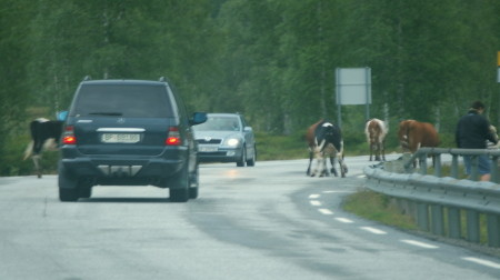 Vacas en la calzada