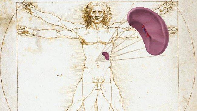 Situación del bazo en el cuerpo humano