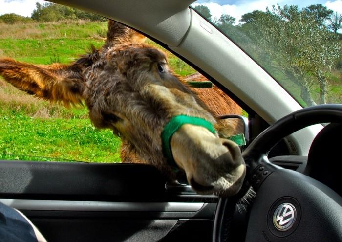Driving donkey, Odemira. Alentejo, Portugal.