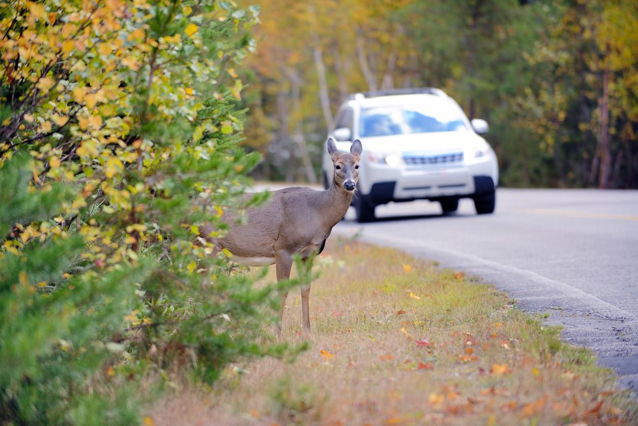 ciervo en carretera