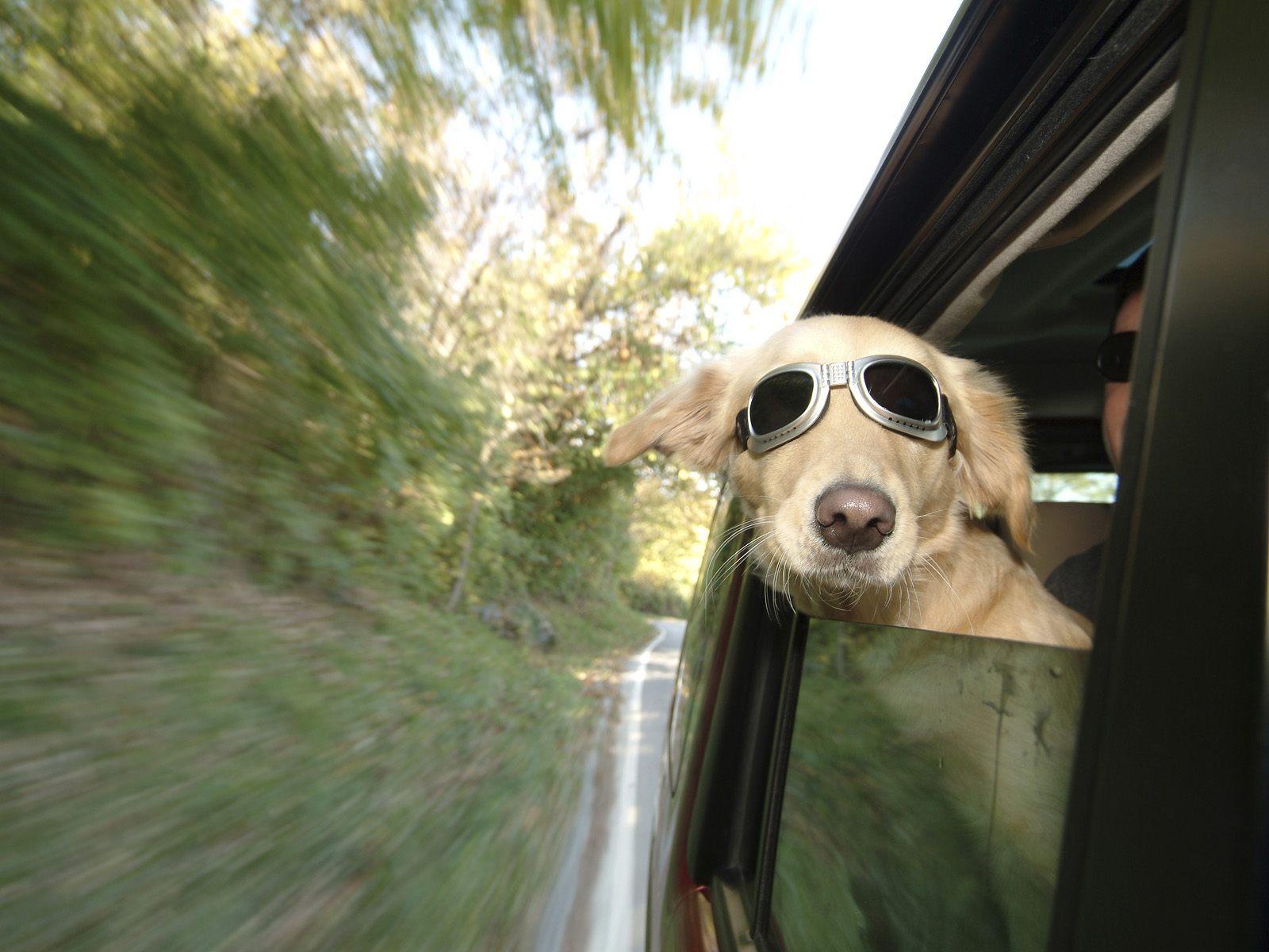 Cães em carros - CS