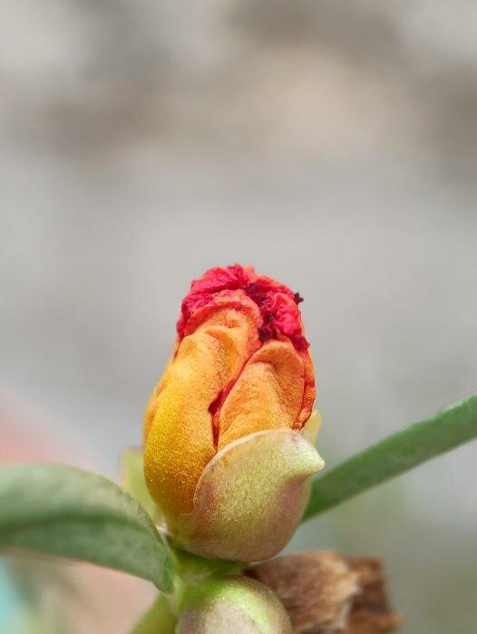vulva tulipán
