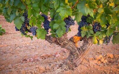 Ribera del Duero: la tierra de los tintos prodigiosos