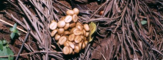 café indonesio Kopi Luwak