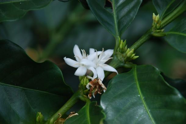 Flor del cafeto
