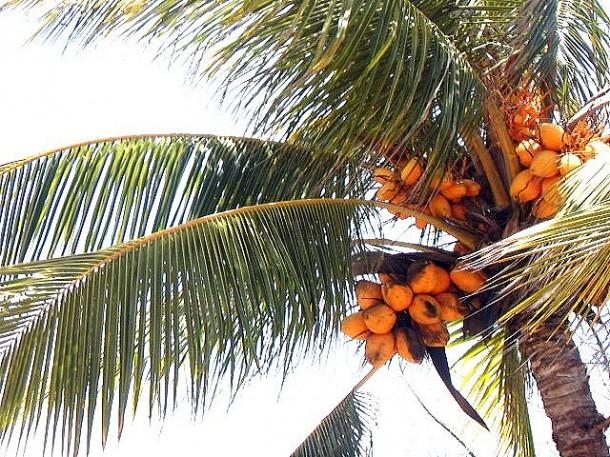 palmera datiles