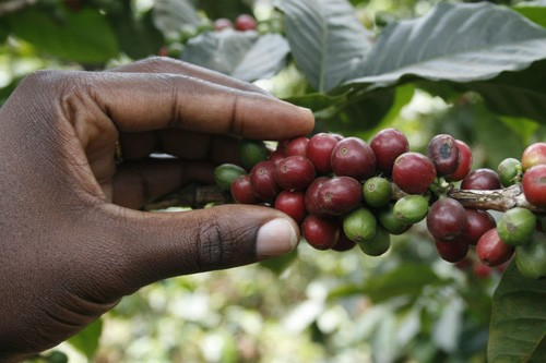 genoma del cafe coffee beans