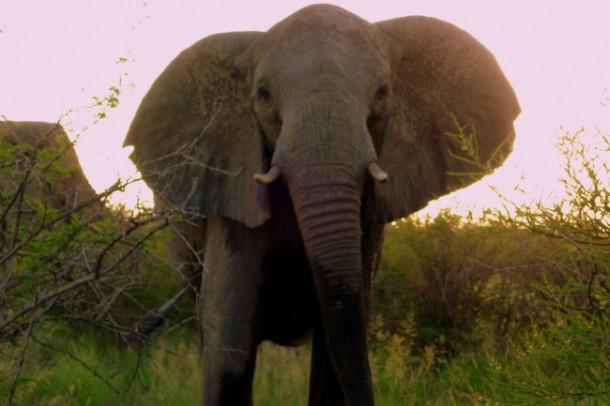 nueva variedad de café procedente de elefantes