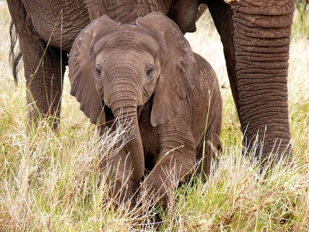 nueva variedad de café digerido por elefantes