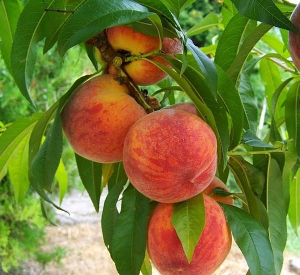 fruta verano (3)