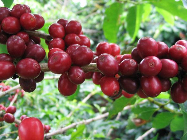 Fruto del árbol del cafeto arábica