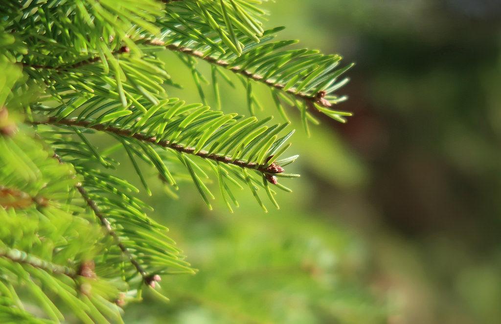 Primer plano de un pino
