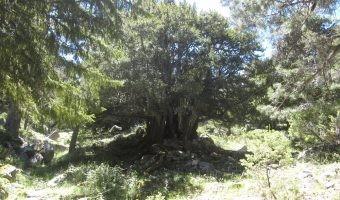 Conoce un árbol milenario a 80 km de Madrid