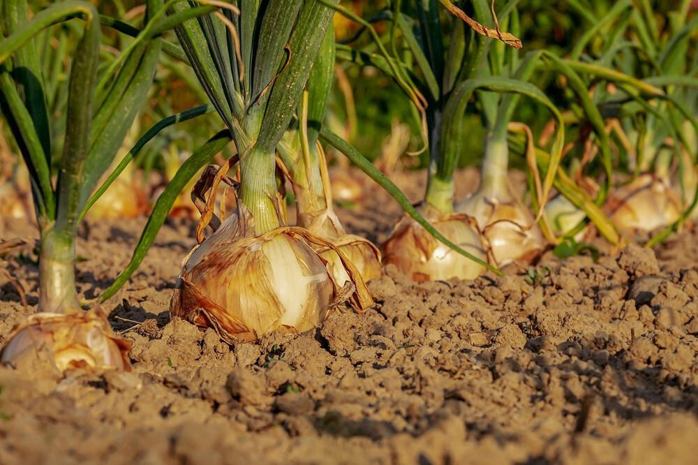 Cultivar cebollas en un huerto